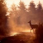 Vulcain - Hère de cerf élaphe