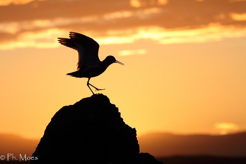 Danse avec la nuit - Chevalier gambette