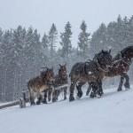 Débardage en côte à 4 chevaux