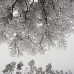 Entre ciel et terre - Pins sylvestres et givre