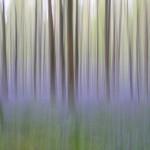 Bleu matin - Jacinthes des bois