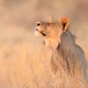 lion-dids_v