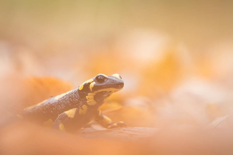 Orange - Salamandre - Forêt d'Orient, Aube