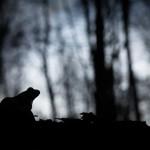 Une nuit en forêt - Grenouille rousse - Forêt d'Orient, Aube