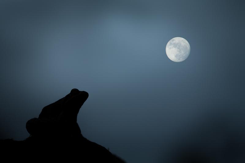Clair de lune - Grenouille rousse - Forêt d'Orient, Aube