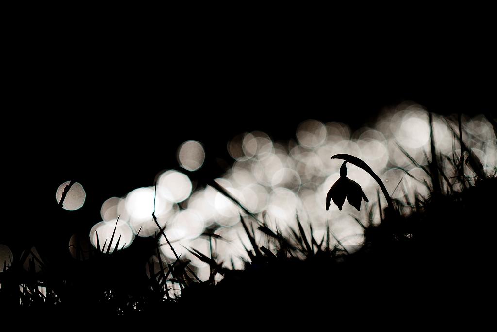 Nivéole en contre jour, les reflets du soleil sur un ruisseau offrent des jeux de lumière très intéressants, attention aux yeux avec les reflets trop violents !