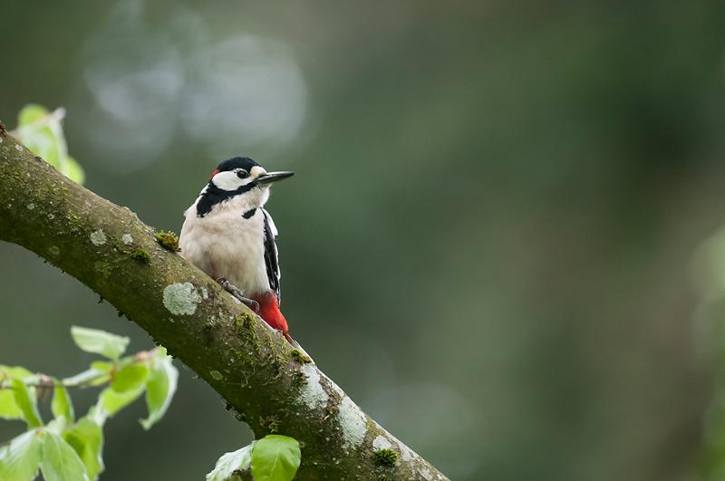 Le pic se pose parfois sur un arbre voisin de la loge, c'est l'occasion de faire des images d'ambiance forestière différentes des images à la loge - © Fabien GREBAN
