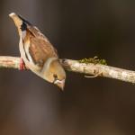 Grosbec casse-noyaux - © Christophe CRIMMERS
